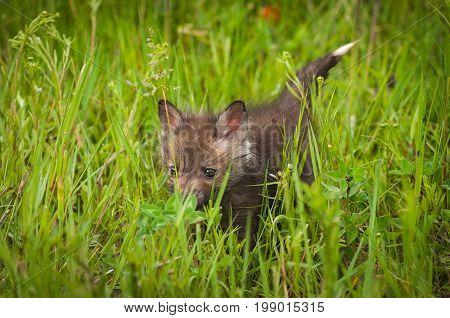 Red Fox (Vulpes vulpes) Kit Walks Through the Grass - captive animal