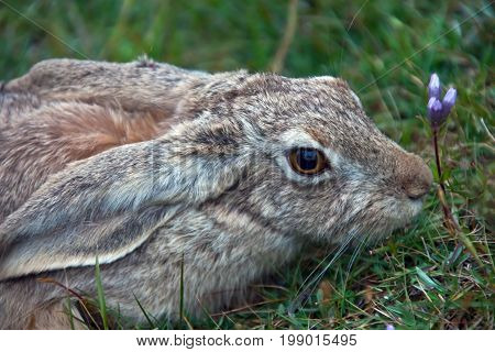 Asian mountain hare TOLAI closeup. The hare put his ears and sits there without moving Tien Shan Kyrgyzstan