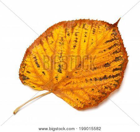 Dried Autumn Tilia Leaf