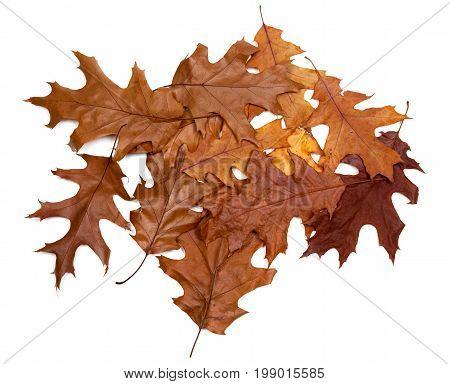 Autumn Dried Leafs Of Oak
