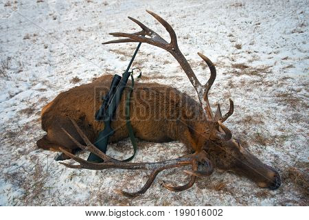 Trophy deer and rifle after hunting. The carcass of European deer and weapons after a winter of hunting in Belarus.