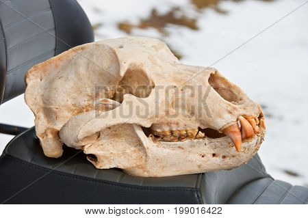 Skull Kamchatka brown bear after the initial processing and cleaning. Trophy skull of a bear after a hunt on the Kamchatka Peninsula. Russia