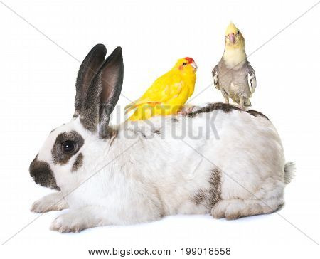 Checkered Giant rabbit and parakeet in front of white background