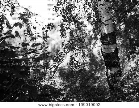 Right aligned birch far city landscape background hd