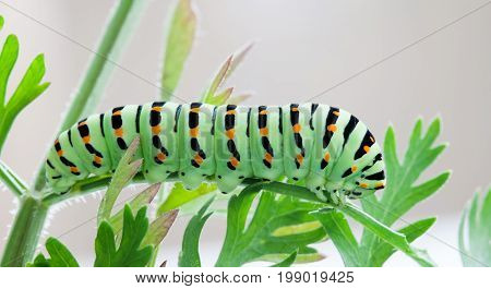 Papilio machaon caterpillar butterfly. Macro view green insect eating carrot leaves