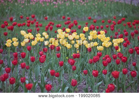 Flowers tulips yellow and red color. Bulbous plants on a decorative flowerbed. Saint Petersburg