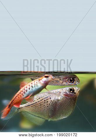 Cherry barb flying fish Gasteropelecus sternicla freshwater aquarium tank landscape. Shallow depth field selective focus.