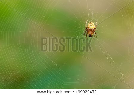 Spider Garden-spider (lat. Araneus) Of The Genus Araneomorph Spiders Of The Family Of Orb-web Spider