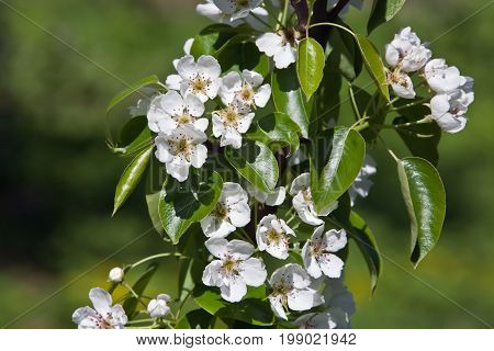Pear varieties Czyzewskayawith leaves and flowers. Pear varieties Czyzewskaya in the spring bloom. Garden fruit gardening breeding growing dacha
