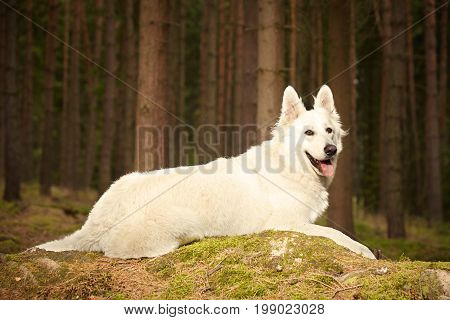 Nice young Swiss white shepherd female in summer forest