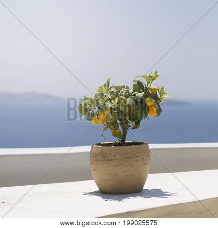 Kumquat Fruit Ripe On A Young Tree Standing On A Wooden Table On A Background Of Mountains And The S