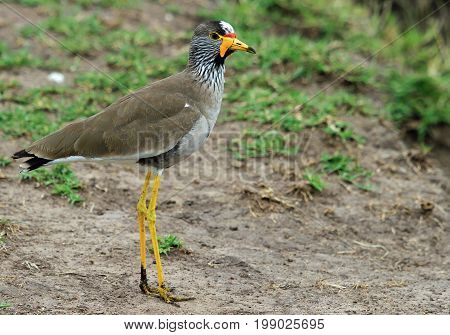 Close up of a lone colourful Wattled Lapwing (Vanellus senegallus) standing on the ground in Masai Mara Kenya