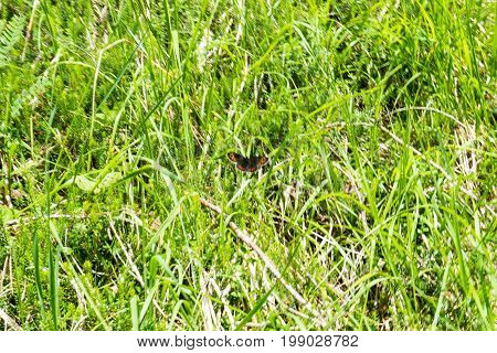 black and orange butterfly in meadow flying around