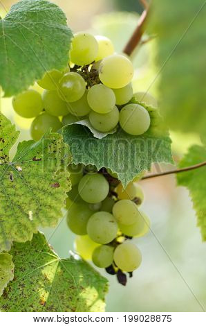 Green Grapes in a vine yard on green background.White grapes on a branch of green vine in vineyard before harvest.Riped grapes ready for harvest