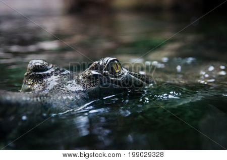 Crocodile. Crocodile's eye reflects in water.Big Brown and Yellow Amphibian Prehistoric Crocodile.