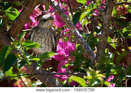 Baby Northern Mockingbird Chick In Bougainvillea Bush