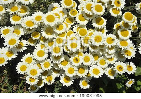 Anthemis Tinctoria flowers perennial variety wargraves also known as Golden Marguerite attractive to garden insects.