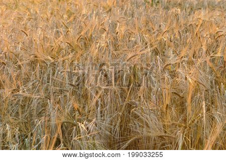 Summer evening or morning. In the frame is a field with spikes of ripe rye. Ukraine Cherkasy region