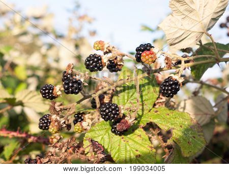 Black Lush And Ripe Blackberries Outside On Brambles