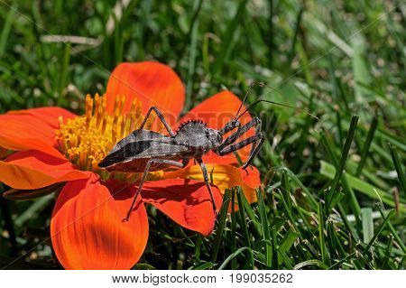 Wheel bug or assassin bug on Tithonia diversifolia flower. Assassin bug is in the family Reduviidae and the species is one of the largest terrestrial true bugs in North America.