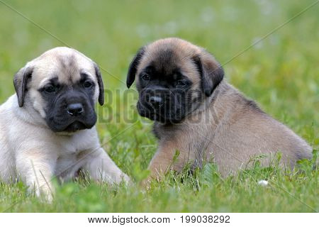Two English Mastiff puppies few weeks old sitting together on grass