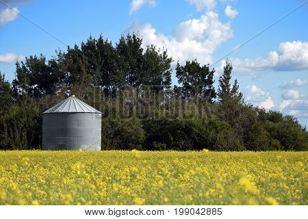 An image of a steel grain silo in a yellow canola field.