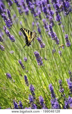 Lavender flowers closeup with yellow swallowtail butterfly