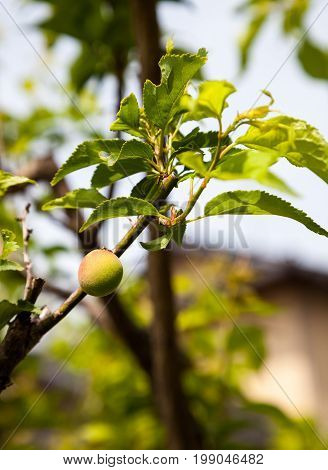 Young green ume plum fruit on a tree. Japan plum.