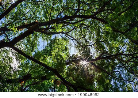 Spring Sun Shining Through Canopy Of Tall Tree. Sunlight In Deciduous Forest, Summer Nature, Sunny Day. Upper Branches Of Tree With Fresh Green Foliage.