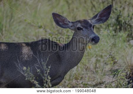 headshot of mule deer with wide ears in Guadelupe Mountains National Park Texas