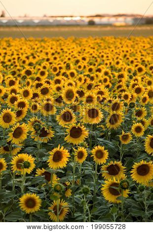 Sunflowers field near Arles in Provence France