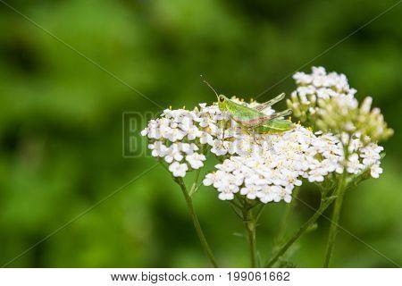 Green Grasshopper On A Flower