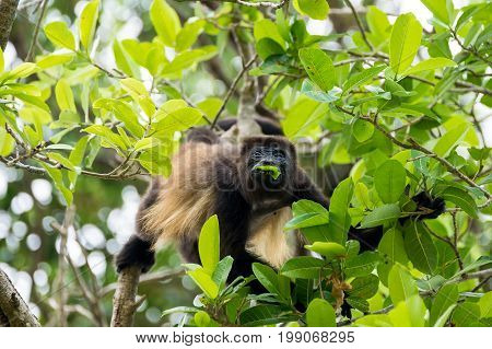 A howler monkey sitting in the tree tops of a forest and eating leaf.