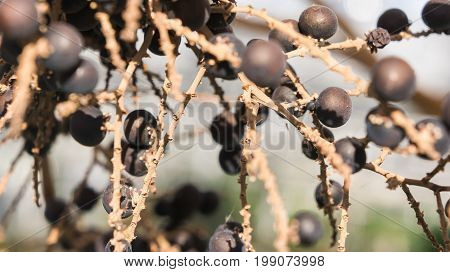livistona chinensis, black-brown small round berries on light branches, sunny day, background
