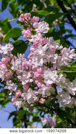 a bush of light white and pink terry lilacs, bunches of flowers in full bloom on a branch, fresh, spring, sunlit, nature, vertical shot,