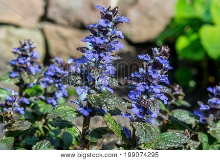 lamiaceae ajuga reptans, Illuminated by the sun, against the backdrop of masonry in the background, several bright blue colors grow in a natural environment,
