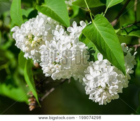 a bush of white lilac, three clusters of flowers in full bloom on a branch, fresh, spring, lit by the sun,