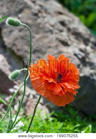 papaver eye catcher, red-orange large terry flower poppy grows in natural environment, sunny day, beautiful big flower full bloom and two buds, large stone background, vertical photo, plant at bottom