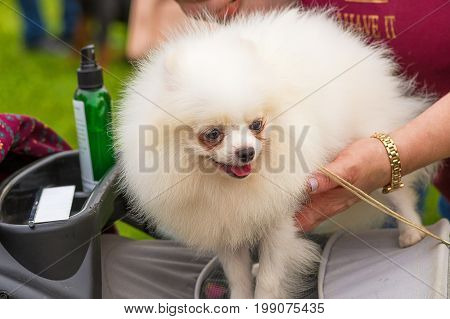 Spitz, Grooming dogs professional master. Dog show. 2018 year of the dog in the eastern calendar Concept: parodist dogs, dog friend of man, true friends, rescuers.