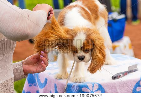 Cavalier King Charles Spaniel, Grooming dogs professional master. Dog show. 2018 year of the dog in the eastern calendar Concept: parodist dogs, dog friend of man, true friends, rescuers.