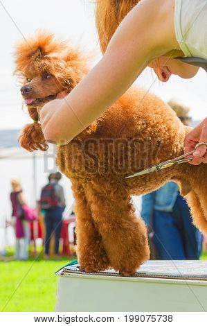 Poodle, Grooming dogs professional master. Dog show. 2018 year of the dog in the eastern calendar Concept: parodist dogs, dog friend of man, true friends, rescuers.