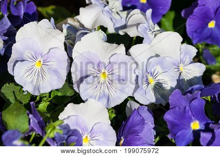 viola a lot of flowers of beautiful light blue and dark blue and lilac color spring sunny day, full bloom,
