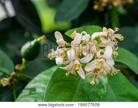 white lemon flowers on a branch grow bunch, yellow cores, in the background a large dark green foliage and a small green lemon are not yet ripe,