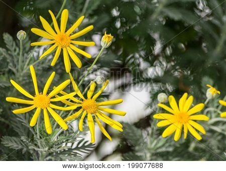 euryops, yellow bush daisy, euryops pectinatus, four bright daisy flowers on bush full bloom, petals and yellow core, sharp light gray, silvery leaves, growing garden, thin not densely located petals
