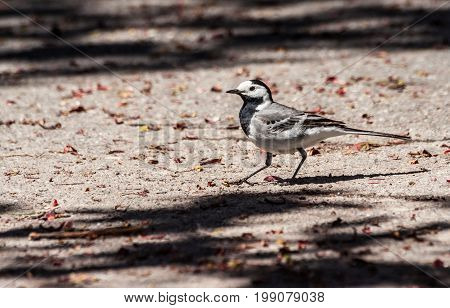 motacilla, wagtail white color of upper body gray, and lower white, head white, with black throat and cap, goes along the asphalt on a sunny day, the foliage of trees on the ground