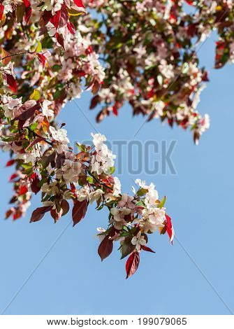 rosaceae malus x purpurea, a large branch with flowering small flowers light and pink against a blue sky, a spring period, a sunny day, a vertical shot