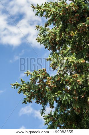part of the coniferous tree on the right side of the picture against the blue sky with white clouds, the spruce branches are covered with large light brown cones, spring, sunny day,