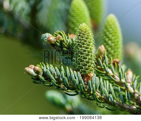 part of the coniferous tree on the right side of the picture on a blurred background of blue sky and green grass, on the branch three large green young cones grow up, spring, sunny day, blue spruce,