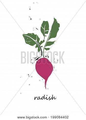 Radish with green leaves on a white background. Vector illustration.