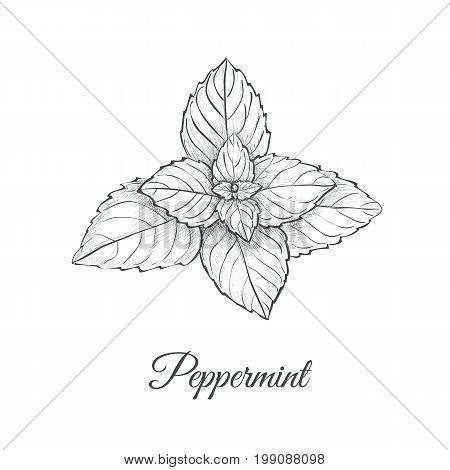 Peppermint skech  hand drawing. Mint vector illustration